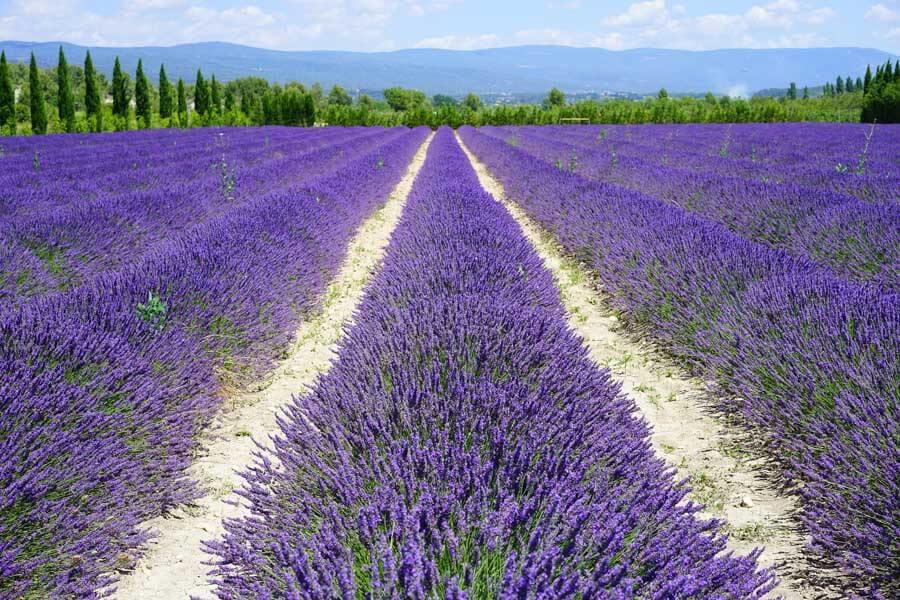 Lavender fields in Turkey
