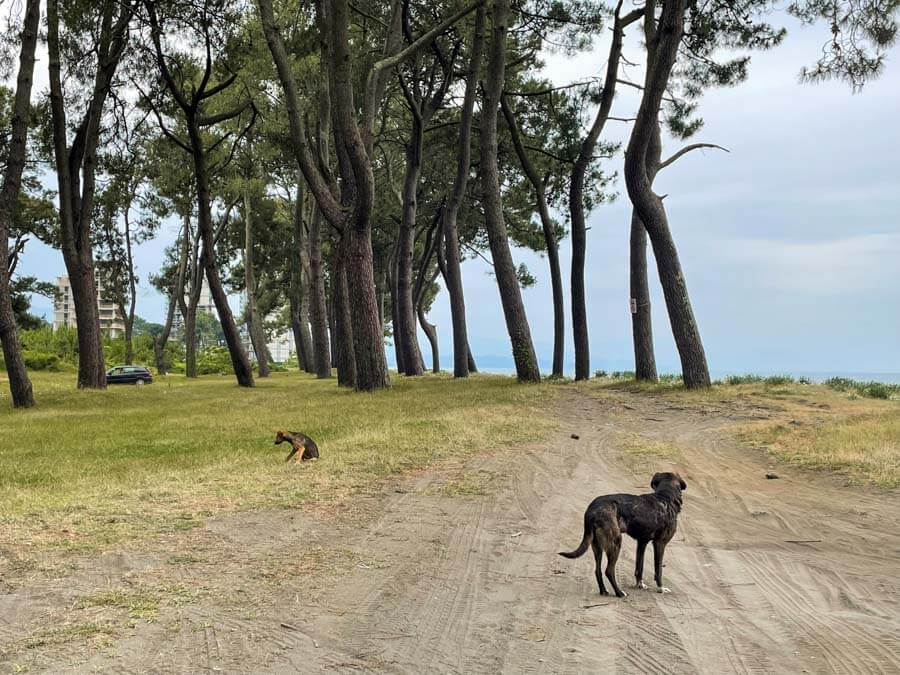 stray dogs in Georgia